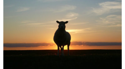 silhouette of a sheep standing in front of the setting sun in the sky